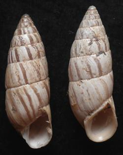 B. cylindrica. Фотография 30