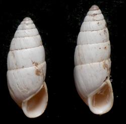 B. cylindrica. Фотография 32