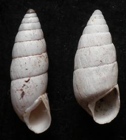 B. cylindrica. Фотография 36