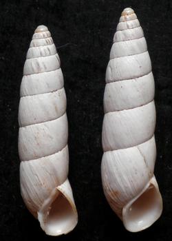 B. cylindrica. Фотография 38