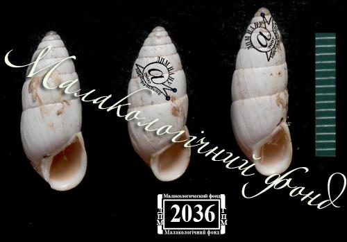 Brephulopsis cylindrica. Фотография 31