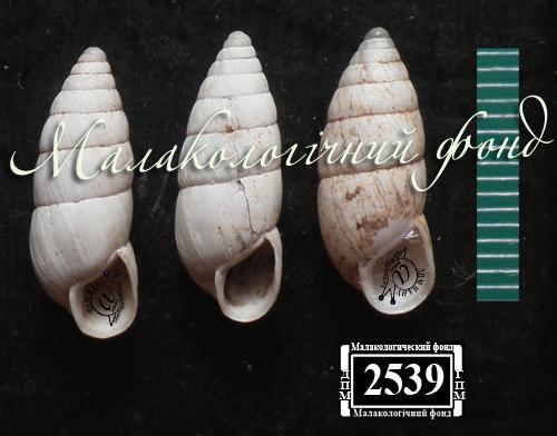 Brephulopsis cylindrica. Фотография 41