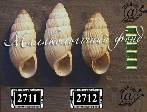 Brephulopsis konovalovae. Фотография 4