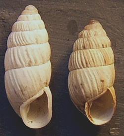 Brephulopsis konovalovae Gural-Sverlova et Gural, 2010