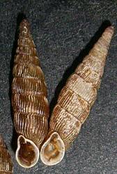 B. cana. Фотография 10