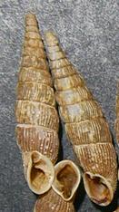 B. cana. Фотография 6