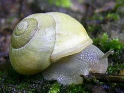 Моллюск января среди наземных моллюсков - Cepaea hortensis  (2014 р.)