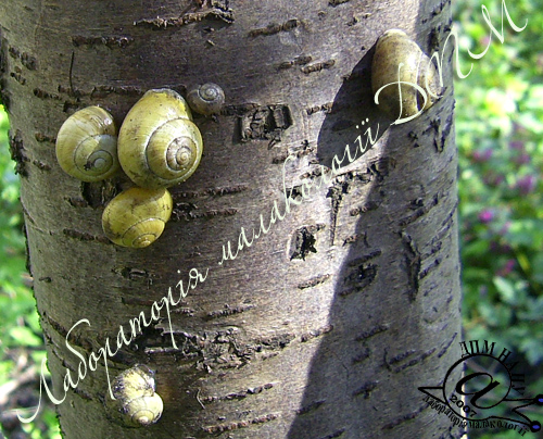 Cepaea hortensis. Фотографія 44