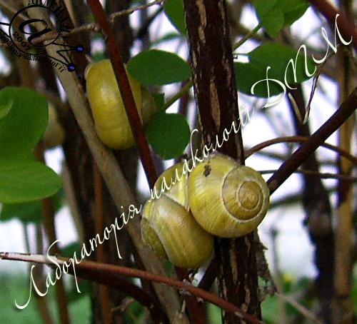 Cepaea hortensis. Фотографія 48