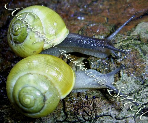 Cepaea hortensis. Фотографія 54