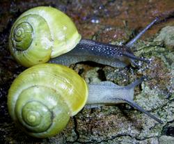 Моллюск октября среди наземных моллюсков - Cepaea hortensis (2018р.)