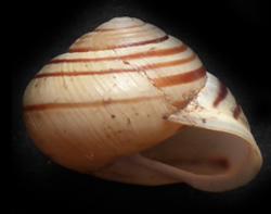 C. hortensis. Фотография 29