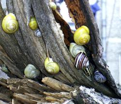 Моллюск марта среди наземных моллюсков -Cepaea hortensis (O.F.Müller, 1774) (2019 г.)
