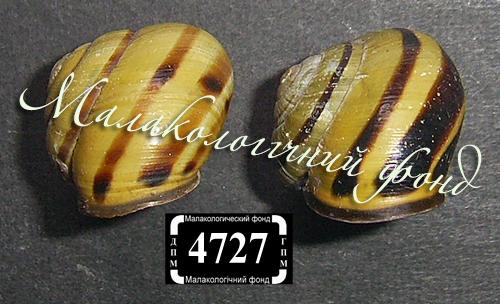C. nemoralis. Фото 128