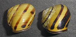 Cepaea nemoralis (Linnaeus, 1758). Фото 129