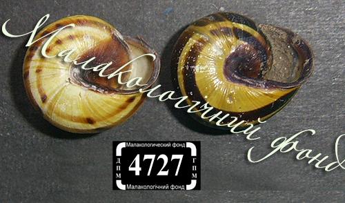 C. nemoralis. Фото 130