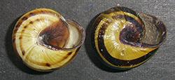 Cepaea nemoralis (Linnaeus, 1758). Фото 131