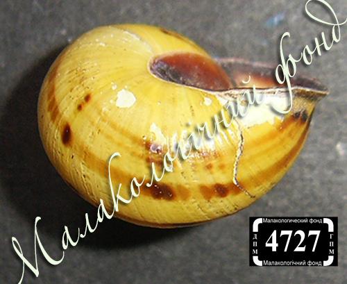 C. nemoralis. Фото 132