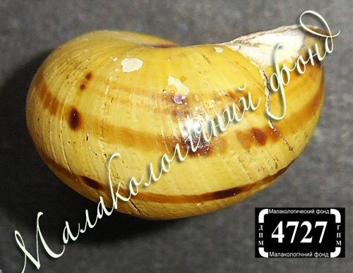 C. nemoralis. Фото 134