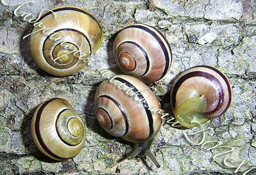 C. nemoralis. Фотография 30