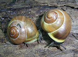 Cepaea nemoralis (Linnaeus, 1758). Фото 33