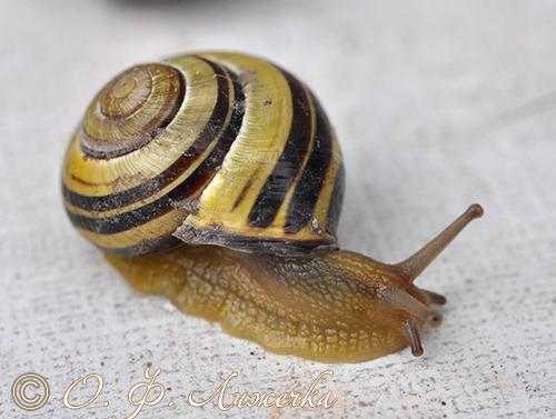 C. nemoralis. Фотография 4
