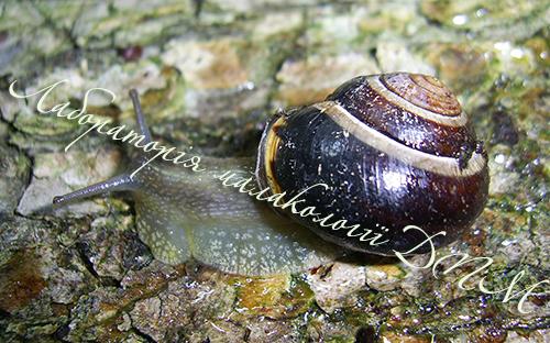 C. nemoralis. Фотография 54