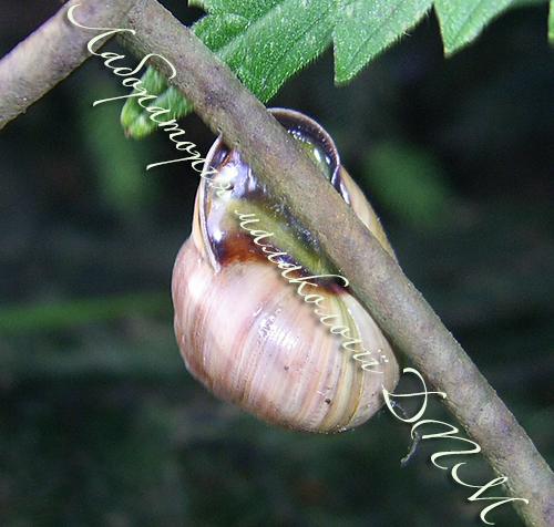 C. nemoralis. Фотография 12