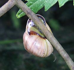 Cepaea nemoralis (Linnaeus, 1758). Фото 13