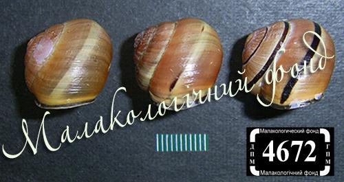 C. nemoralis. Фотография 82