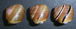 Cepaea nemoralis (Linnaeus, 1758). Photo 83