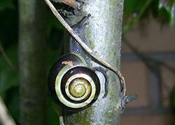 Cepaea nemoralis (Linnaeus, 1758). Photo 103
