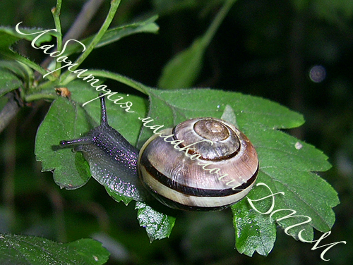 C. nemoralis. Фотография 104