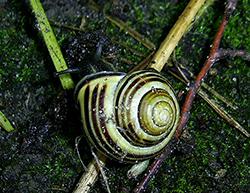 Cepaea nemoralis (Linnaeus, 1758). Photo 107