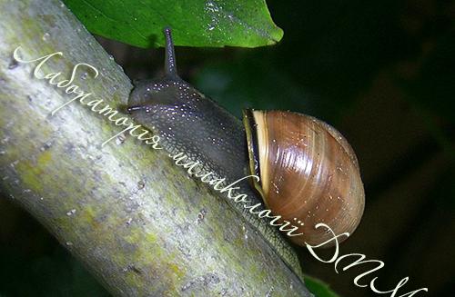 C. nemoralis. Фотография 108