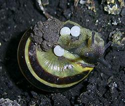 Cepaea nemoralis (Linnaeus, 1758). Photo 113