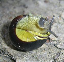 Cepaea nemoralis (Linnaeus, 1758). Photo 123