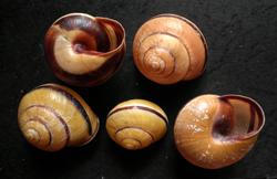 C. nemoralis. Фотография 3