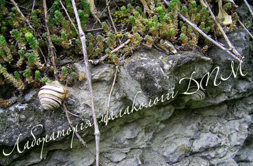 Cepaea vindobonensis. Фотография 19
