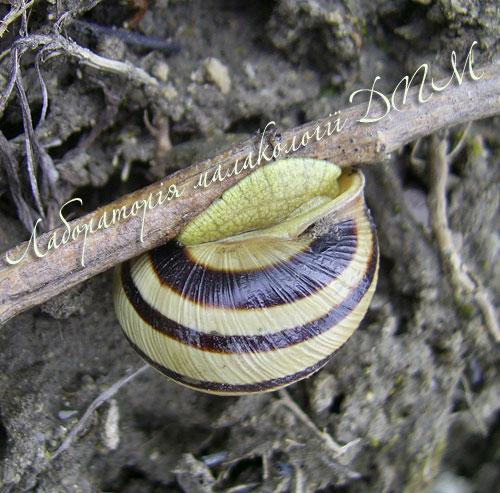 Cepaea vindobonensis. Фотография 21