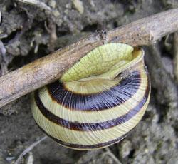 C. vindobonensis. Фотография 22