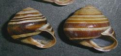 C. vindobonensis. Фотография 28