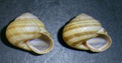 C. vindobonensis. Фотография 24
