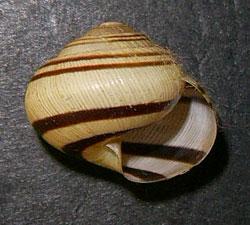 C. vindobonensis. Фотография 26