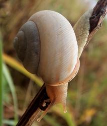 Cepaea vindobonensis. Фотография 35