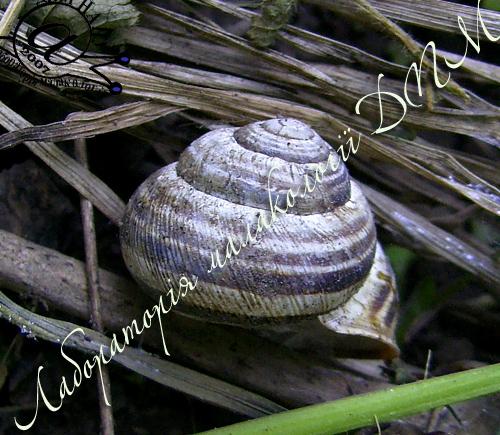 улитка полосатая австрийская - C. vindobonensis