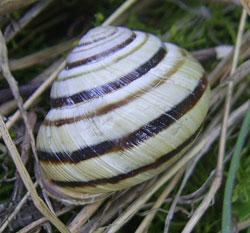 C. vindobonensis. Фотография 18