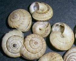 Cernuella virgata (Da Costa, 1778)