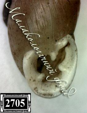 Chondrula tridens martynovi. Фотография 30