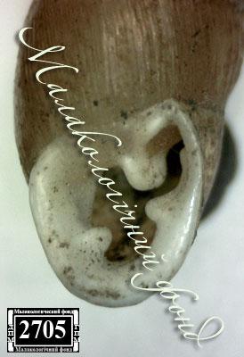 Chondrula tridens martynovi. Фотография 32